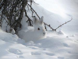 Sneharen og prædation