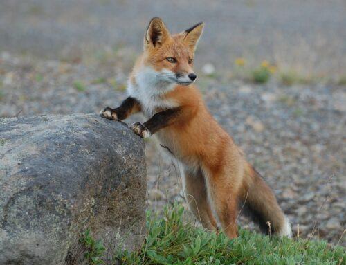 Regulering af ræv og effekten på byttedyr